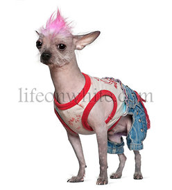 Punk dressed Chinese Crested Dog, 4 years old, standing in fron