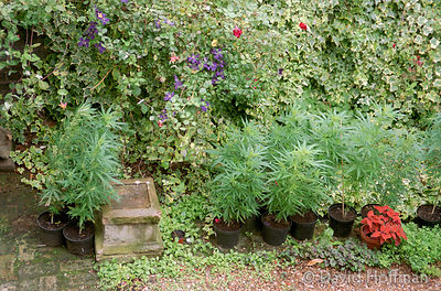 Cannabis In Garden 1