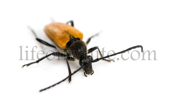 Soldier Beetle in front of a white background