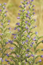 Closeup of the nice blue fowers of the Viper's burgloss or blueweed ,  Echium vulgare