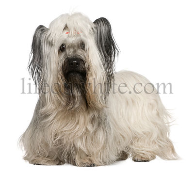 Skye Terrier, 3 and a half years old