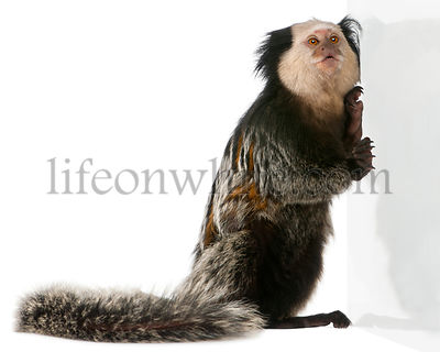 White-headed Marmoset, Callithrix geoffroyi, leaning against wall in front of white background