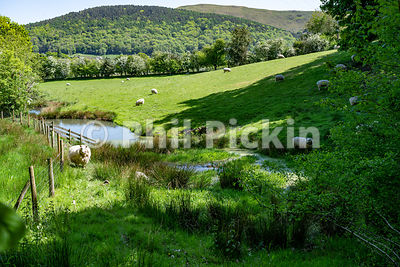Wetland area on the edge of a field of sheep with hills in the background.