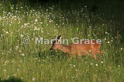 Roe Deer doe (Capreolus capreolus) walks in golden evening sunlight through a South Lakeland grazing meadow with prominent Ox...
