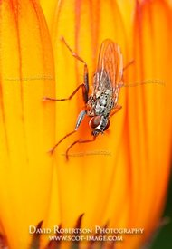 Image - A fly on a Marigold flower
