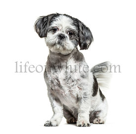Sitting black and white Shih Tzu dog, isolated on white