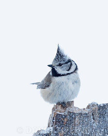 Crested Tit  Lophophanes cristatus in mid winter Finland