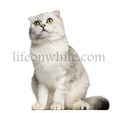 Scottish Fold sitting, looking up, 7 months old, isolated on white