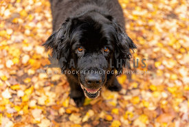 A black newfoundland dog looking up at the camera from a forest path