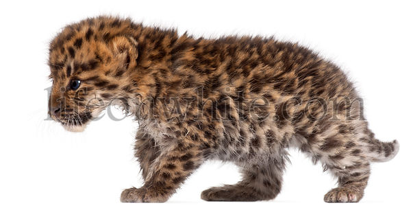 Amur leopard cub walking, Panthera pardus orientalis, 6 weeks old, in front of white background