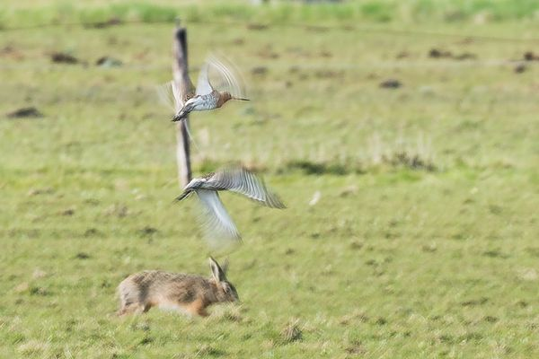 High speed hare and godwits.