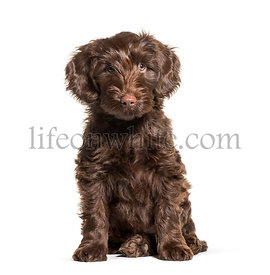 Australian Labradoodle, 2 months old, sitting in front of white background