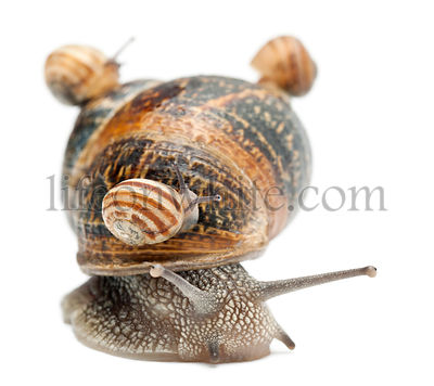 Garden snail - Helix aspersa with its babies on its shell in front of white background