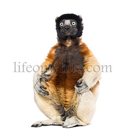 Crowned Sifaka sitting against white background