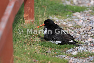 Eurasian Oystercatcher (Haematopus ostralegus) sits on the nest, Highland Wildlife Park, Kincraig, Inverness-shire, Scotland