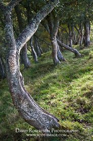 Prints & Stock Image - Small twisted Silver Birch tree, near Tomnavoulin, Glenlivet, Moray, Scotland.