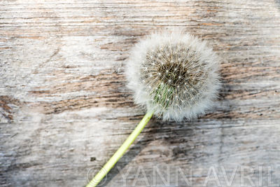 Taraxacum - Dandelion seed head on a wooden background