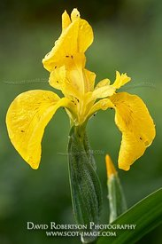 Image - Yellow Iris flower, Iris pseudacorus, Isle of Islay, Argyll, Scotland