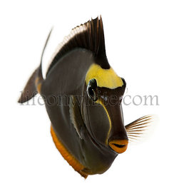 Orangespine unicornfish, Naso lituratus, in front of white background