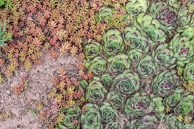 Houseleek (Sempervivum sp) in a garden in the spring, Moselle, France ∞ Joubarbe dans un jardin, France, Moselle, printemps