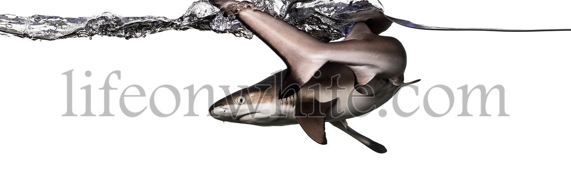 Rear view of a Blacktip reef shark swimming at the surface, Carcharhinus melanopterus, isolated on white