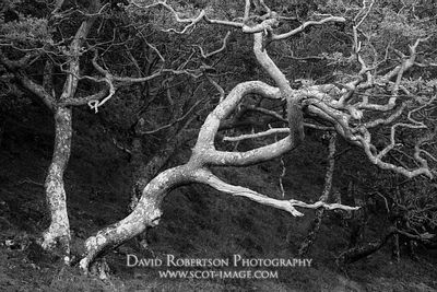 Prints & Stock Image - Gnarly Sessile Oak trees, Quercus petraea, Rhu Peninsula, Arisaig, Lochaber, Highland, Scotland.  Blac...