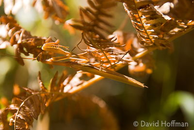 Praying mantis hidden in the undergrowth Praying mantis hidden in the undergrowth in the Majella National Park, Italy.