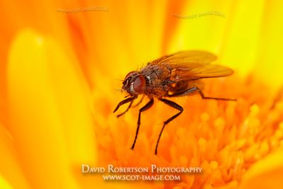 Image - Fly on Marigold flower, Diptera