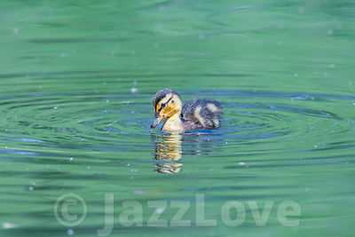 Cute duckling swimming in pond.