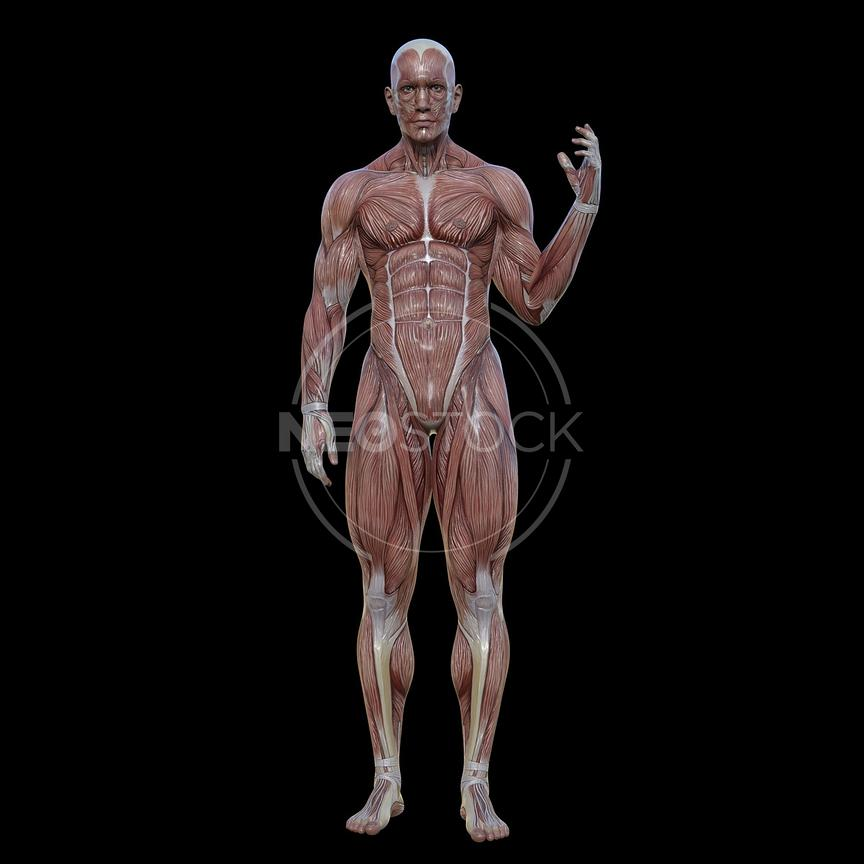 cg-body-pack-male-muscle-map-neostock-4