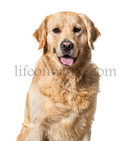 Golden Retriever against white background