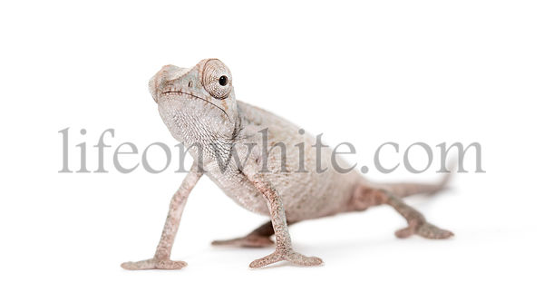 Young veiled chameleon, Chamaeleo calyptratus, against white background