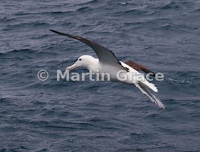 Northern Royal Albatross (Diomedea sanfordi) in flight, Kaikoura, Canterbury, South Island, New Zealand