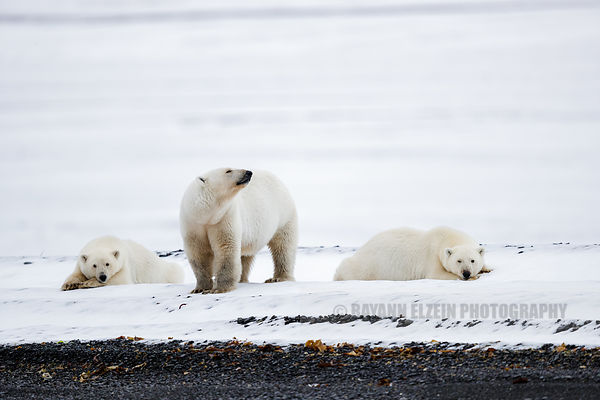 Female polar bear with her two cubs on a beach of Spitsbergen, Norway