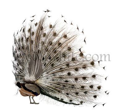 Rear view of Male Indian Peafowl displaying tail feathers in front of white background