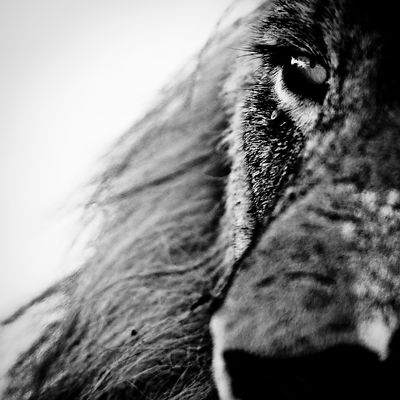 5493-In_the_eye_of_the_lion_South_Africa_2008_Laurent_Baheux