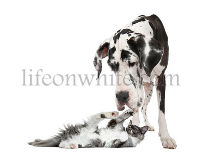 Maine coon kitten playing with a harlequin Great Dane (4 years) in front of a white background