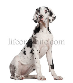 Great Dane puppy, 6 months old, sitting