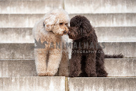 Two doodles sitting on concrete steps with noses touching