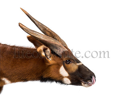 Close up of, Bongo, antelope, Tragelaphus eurycerus against white background