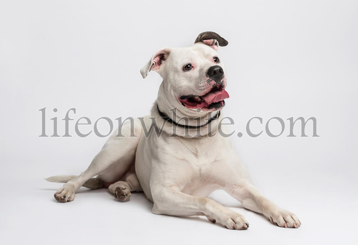 American Bulldog (20 months old)