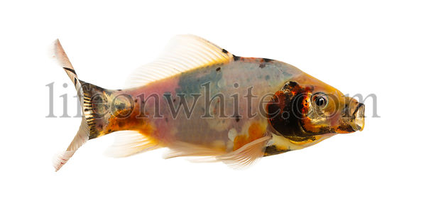Shubunkin, mouth opened Carassius auratus, isolated on white