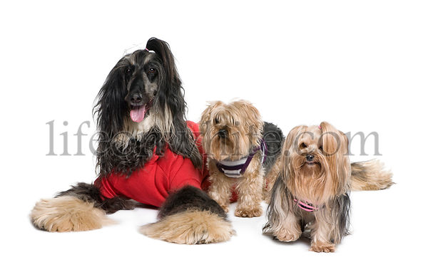 Afghan Hound and Yorkshire dogs