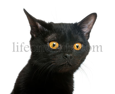 Close-up of a Bombay kitten looking away, isolated on white