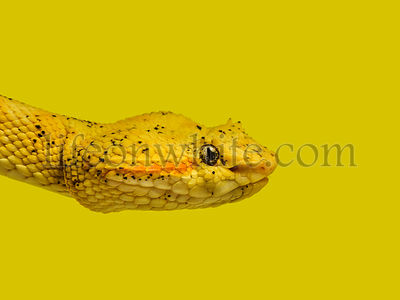 Bothriechis schlegelii, Bothriechis schlegelii, the eyelash viper, is a venomous pit viper against colored background
