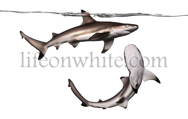Blacktip reef shark viewed from below, Carcharhinus melanopterus, isolated on white