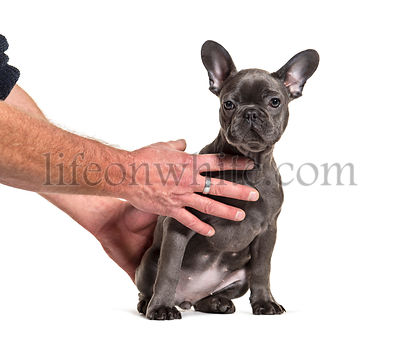 Training session with a French bulldog, isolated on white