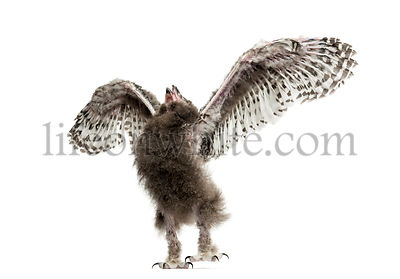 Snowy owl, Bubo scandiacus, spreading its wings, 40 days