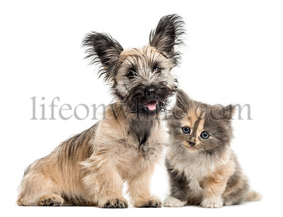 Skye Terrier and European Shorthair facing isolated on white