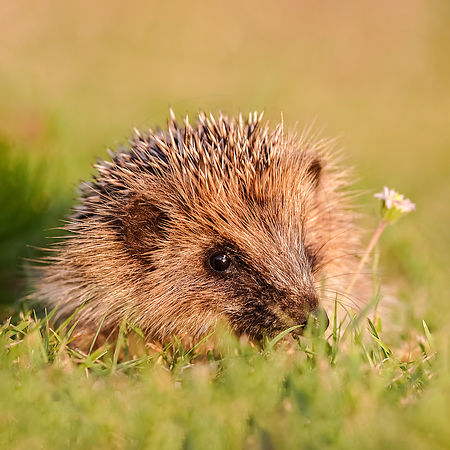 Hérisson d'Europe - European Hedgehog (Erinaceus europaeus)